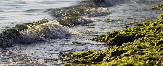 Algas marinas como nuevos combustibles